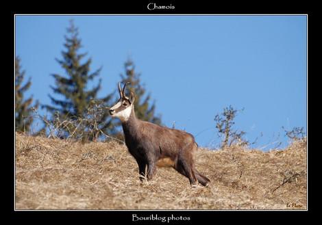 Dsc_0029_chamois