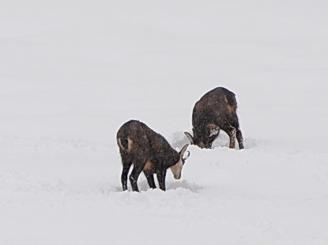 Les_fourgs_chamois_2