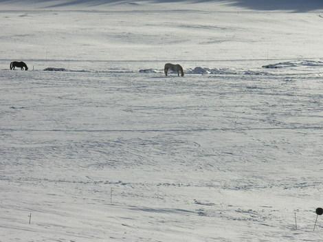 Chevaux_dans_la_neige_1