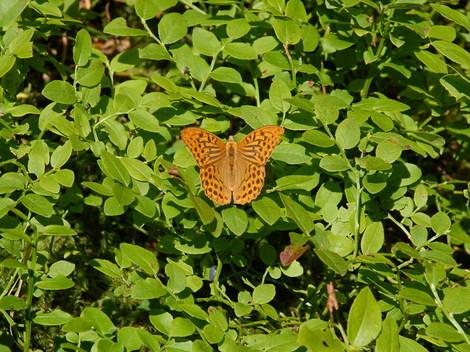 Dsc_0028_papillon