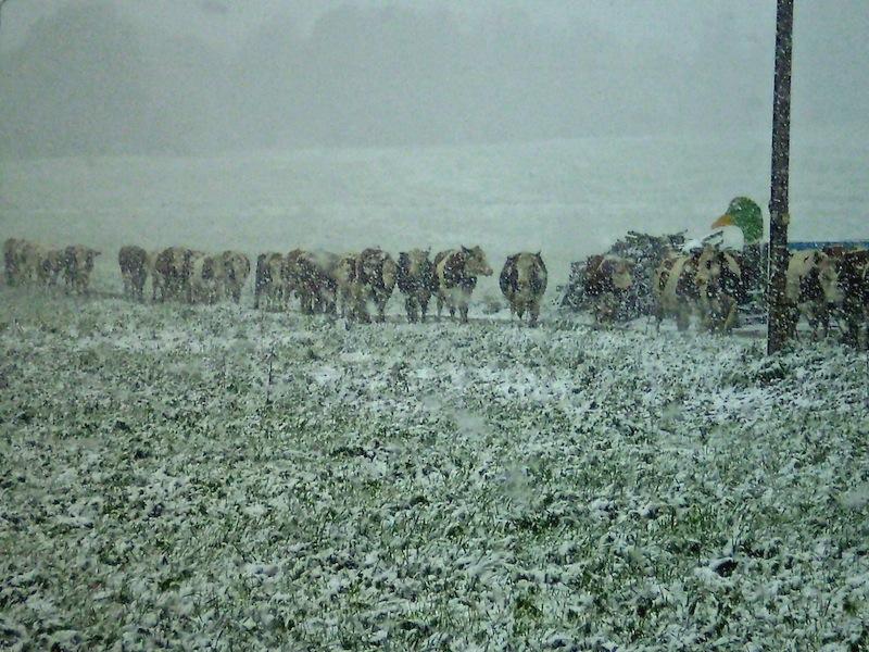 Les vaches 4_mg