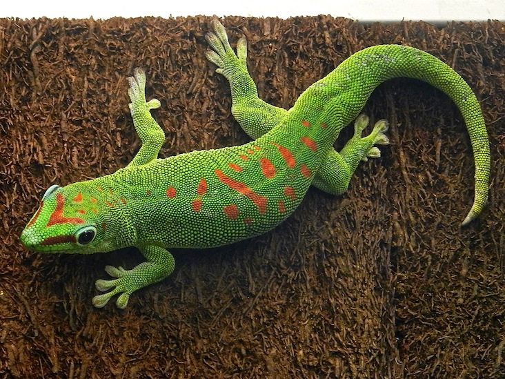 DSCN9235_gecko diurne de madagascar