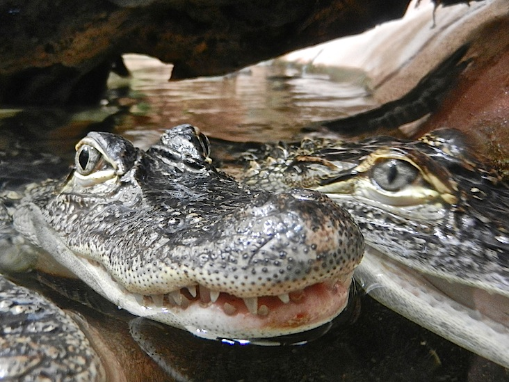 DSCN9244_alligator missipi