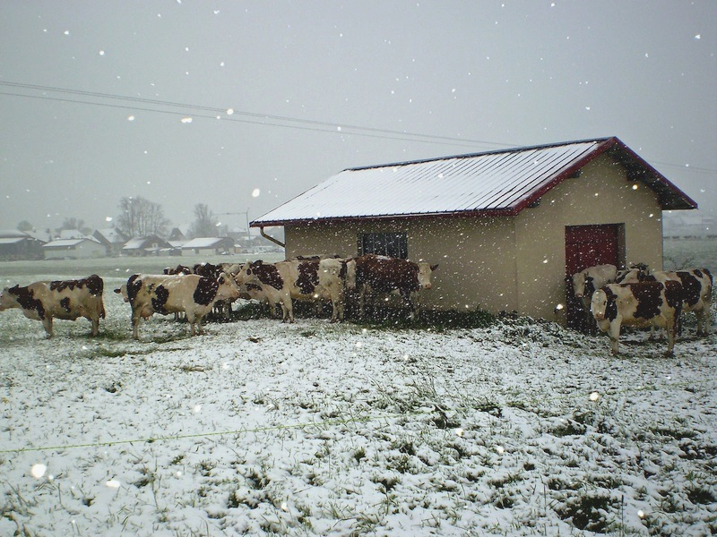 Les vaches 3_mg