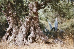 CRETE_arbres 2 copie