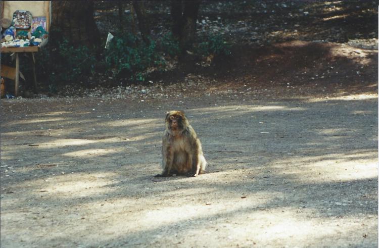 Maroc Azrou sur la route singe