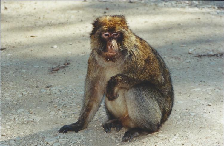 Maroc Azrou sur la route singe 2