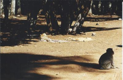 Maroc Azrou sur la route singe 1