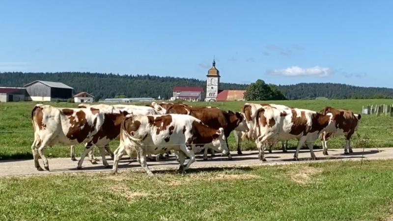 Les vaches mp4 1