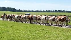 Les vaches mp4 2